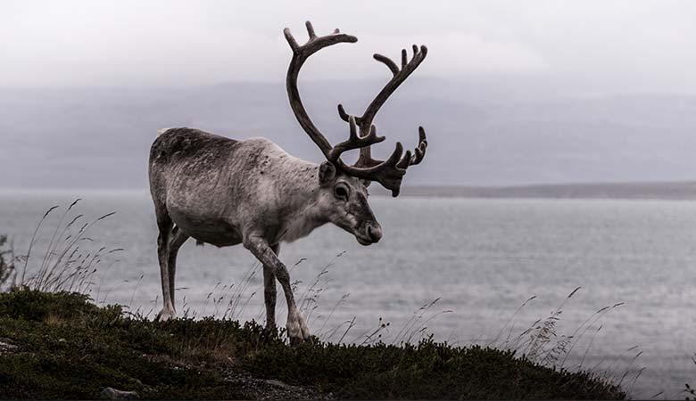 Reindeer-400-pounds