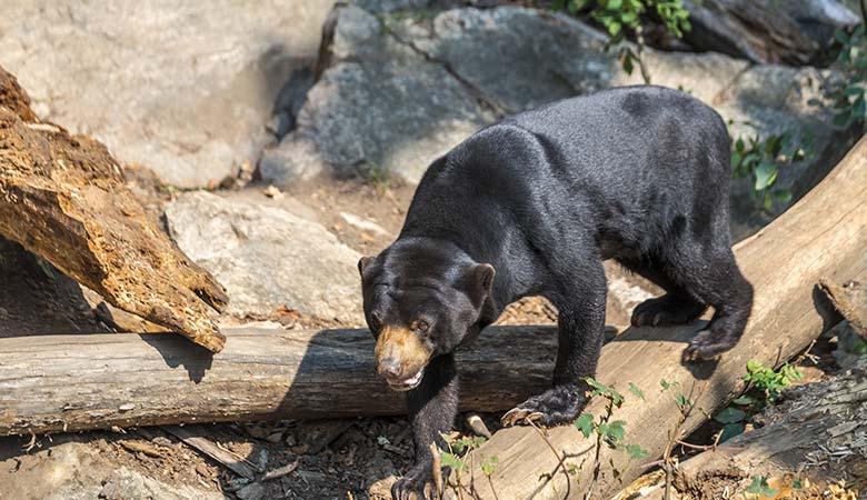 Sun-Bears-100-pounds