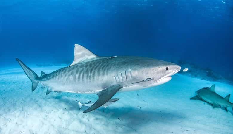 Tiger-Sharks-1200-pounds