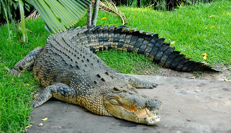 saltwater-crocodile-1500-pounds