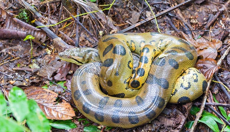 Green-Anaconda-600-pound
