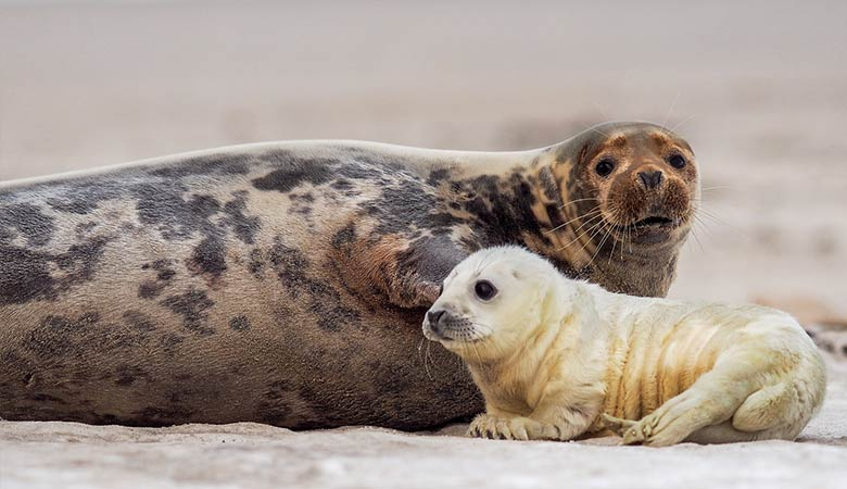 Grey-Seal-600-pounds