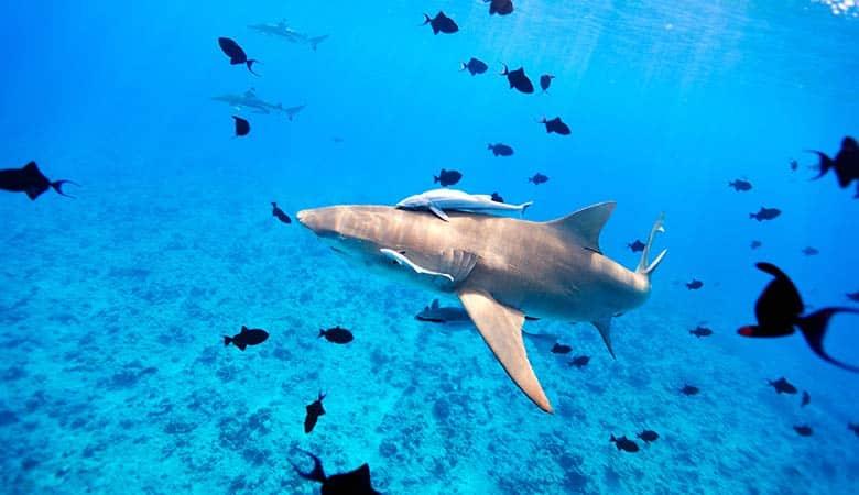 Lemon-Shark-200-pounds