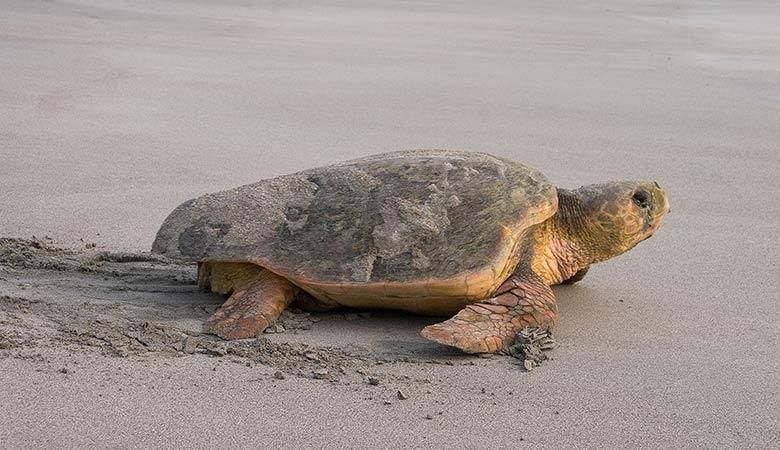 Loggerhead-Sea-Turtles-200-pounds