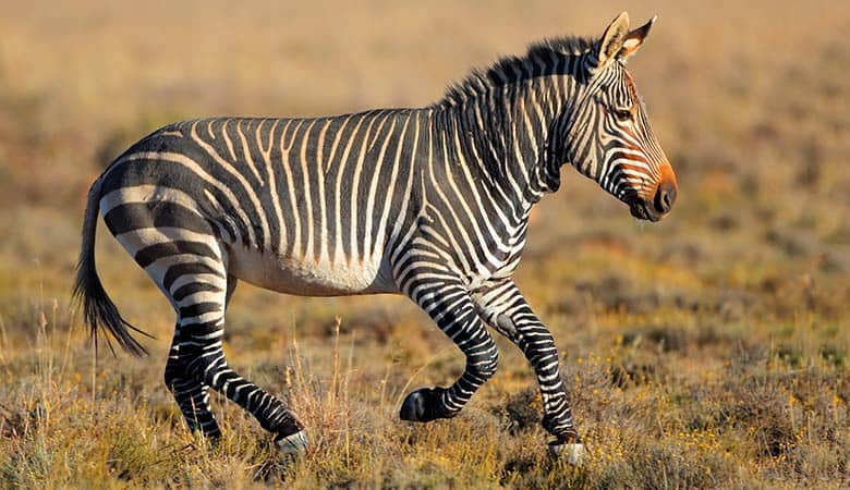 Mountain-Zebra-600-pounds