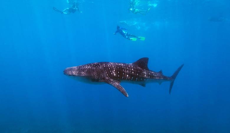 Whale-Sharks-heavy-animal