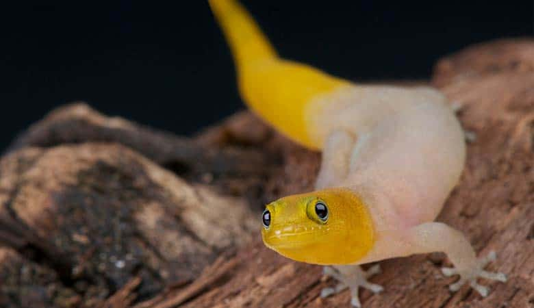 Williams'-Dwarf-Gecko-weight