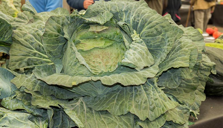 worlds-heaviest-cabbage