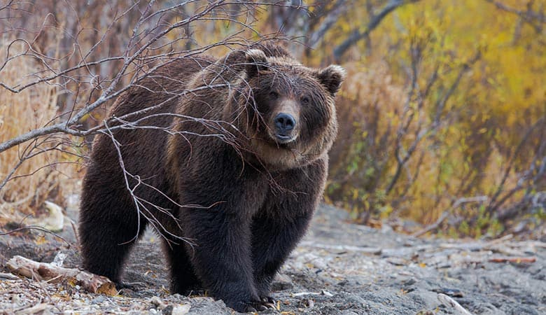 Brown-Bear-weight-heavy