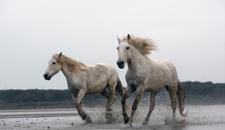 Camargue-Horse-heavy-weigth