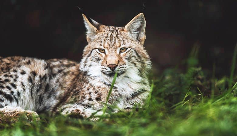 Eurasian-Lynx-weight