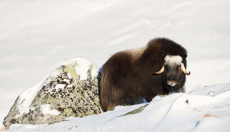 Musk-Ox-weight