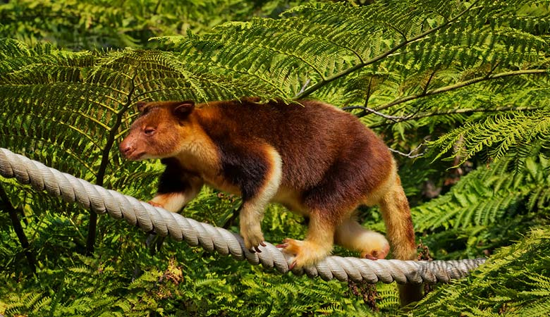 2.-Grizzled-Tree-Kangaroo-weigh-15-kilograms