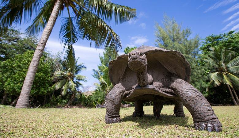 Aldabra-Giant-Tortoise-heavy-reptile