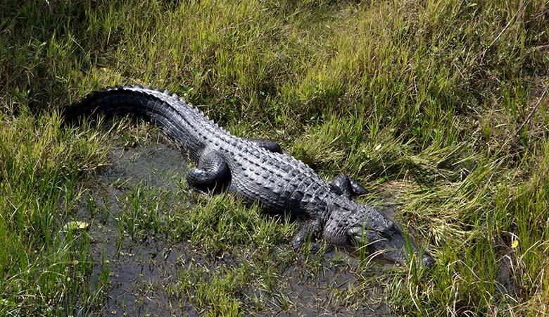 American-Alligator-heavy-reptile