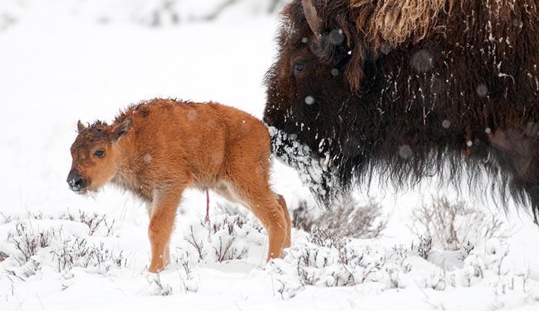 American-Bison-calf-20-kilograms
