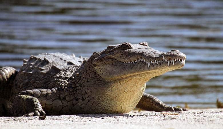 American-Crocodile-heavy-reptile