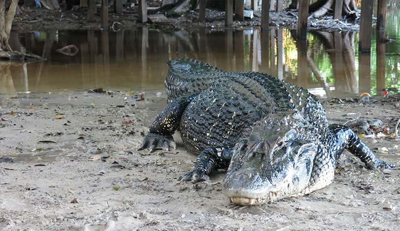 Black-Caiman-heavy-reptile