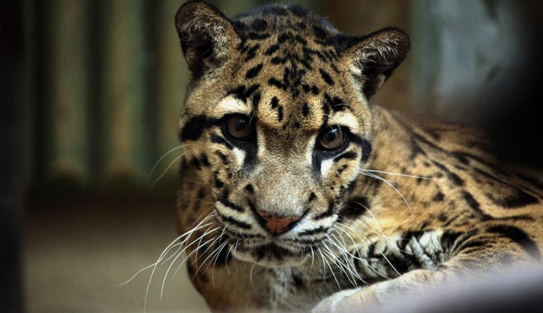 Clouded-Leopard-20-kilograms