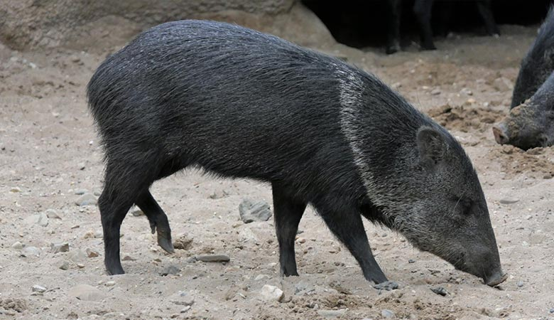Collared-Peccary-20-kilograms