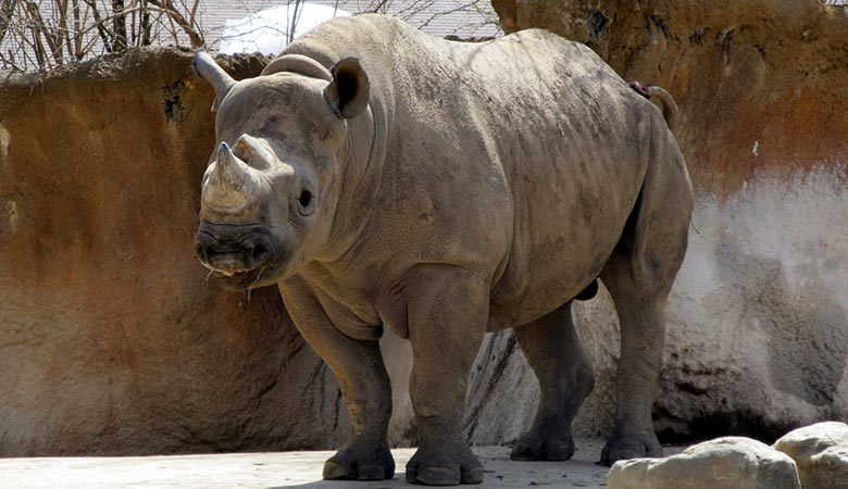 Eastern-black-rhino-weight