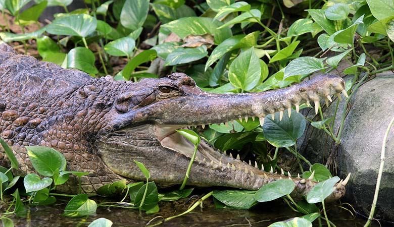 False-Gharial-heavy-reptile