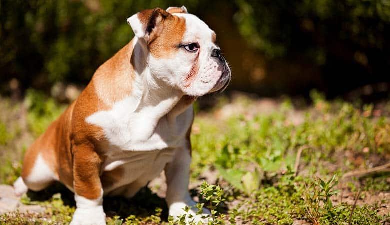 French-bulldogs-10-kilograms