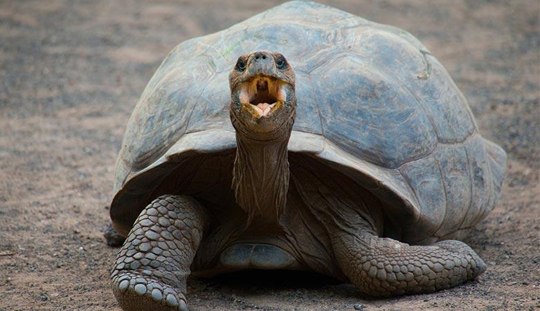Galápagos-Tortoise-heavy-reptile
