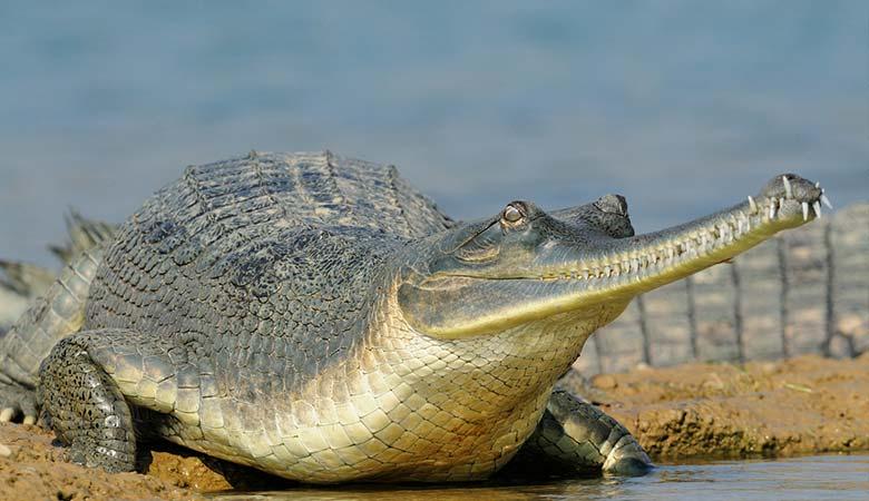Gharial-heavy-reptile
