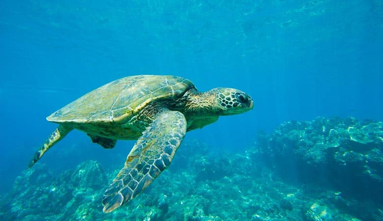 Green-Sea-Turtle-heavy-reptile