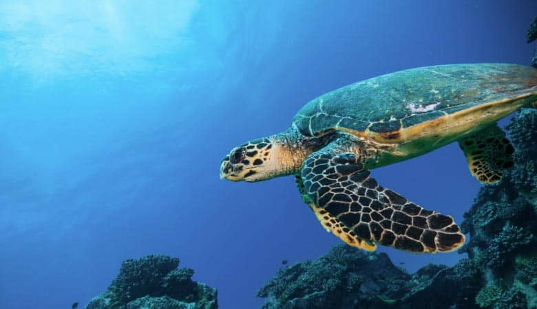 Hawksbill-Sea-Turtle-100-pounds