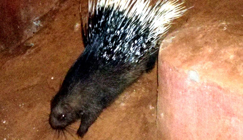 Indian-Crested-Porcupine-heavy-rodent