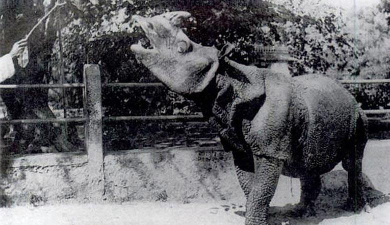 Javan-rhino-weight