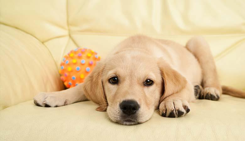 Labrador-puppy-8-pounds