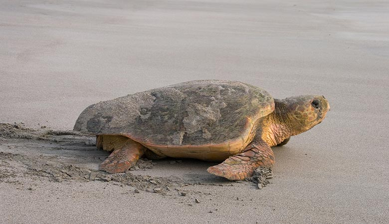 Loggerhead-Sea-Turtle-heavy-reptile