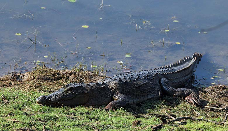 Mugger-Crocodile-heavy-reptile