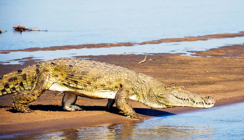 Nile-Crocodile-heavy-reptile