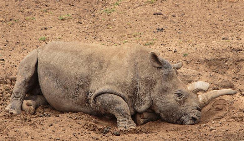Northern-white-rhino-weight