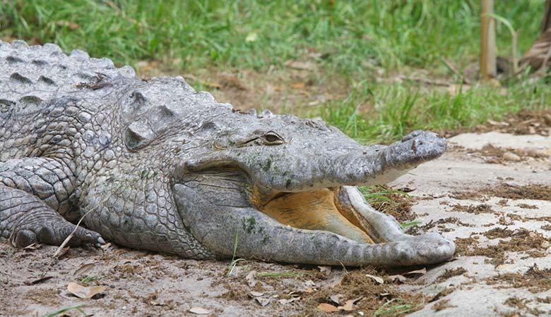 Orinoco-Crocodile-heavy-reptile