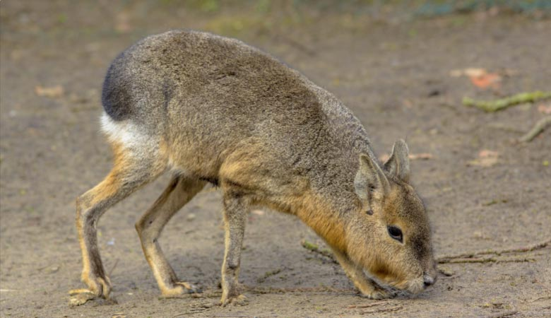 Patagonian-Mara-heavy-rodent