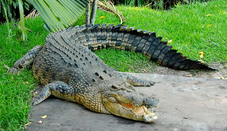Saltwater-Crocodile-heavy-reptile