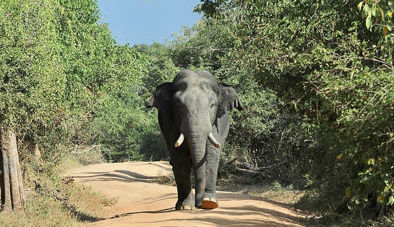 Sri-Lankan-elephant-weight
