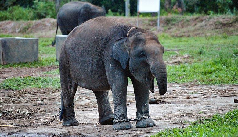 Sumatran-elephant-weight