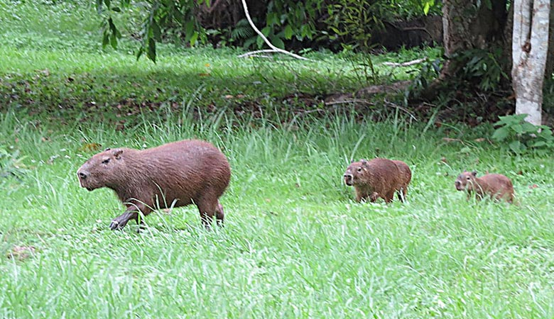 The-Lesser-Capybara-heavy-rodent