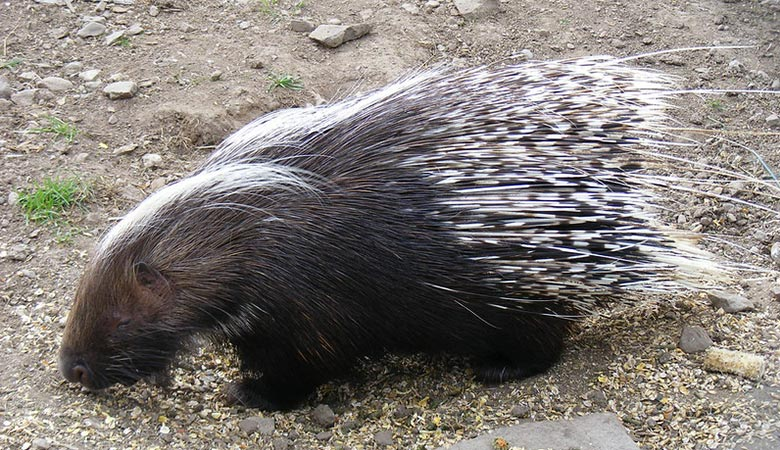 The-South-African-Porcupine-heavy-rodent1