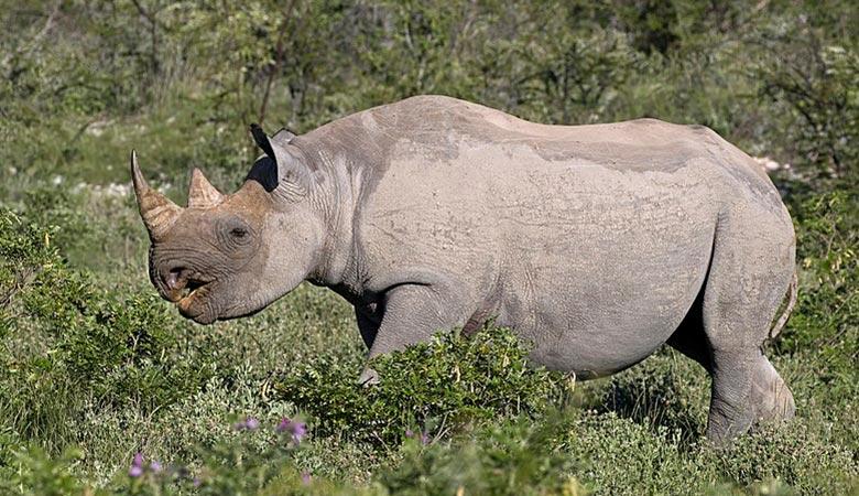 Western-black-rhino-weight