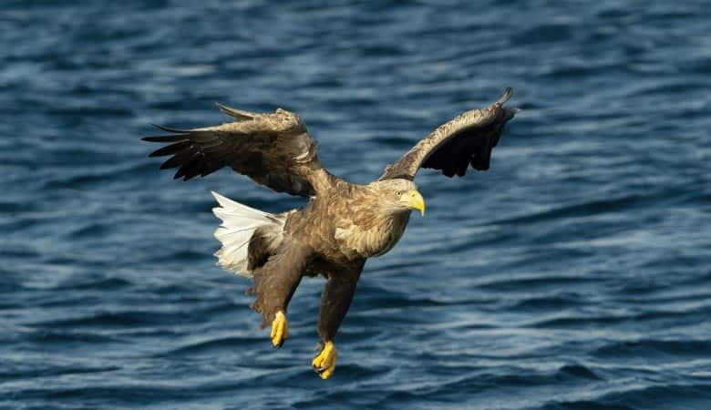 White-Tailed-Eagle-weight