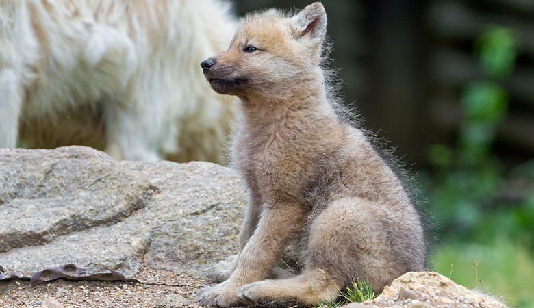 Wolf-Pups-weight