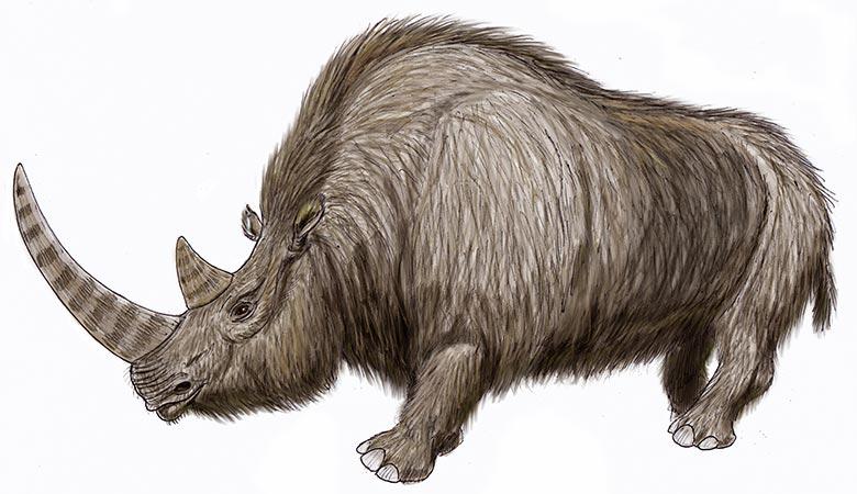 Wooly-rhino-weight