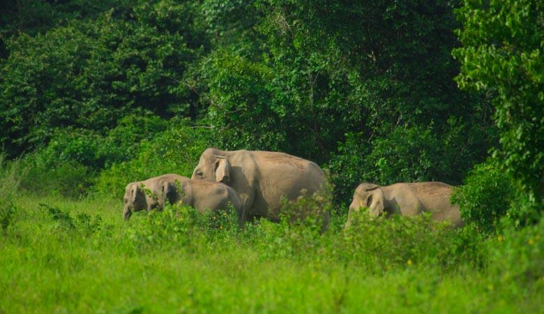 asian-elephants-weight